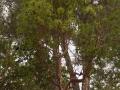 Земляничное дерево красное